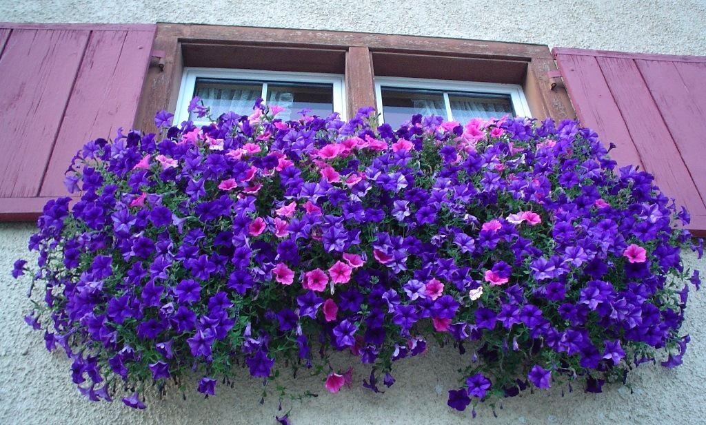 Fiori da balcone pendenti: 3 piante a cascata facili da coltivare ...