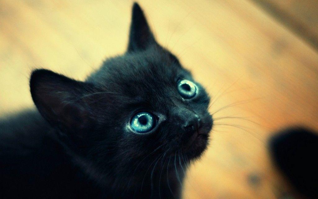 Cute Black Kitten Wallpaper The Incensewoman Cat With Blue Eyes Cute Black Kitten Beautiful Cats