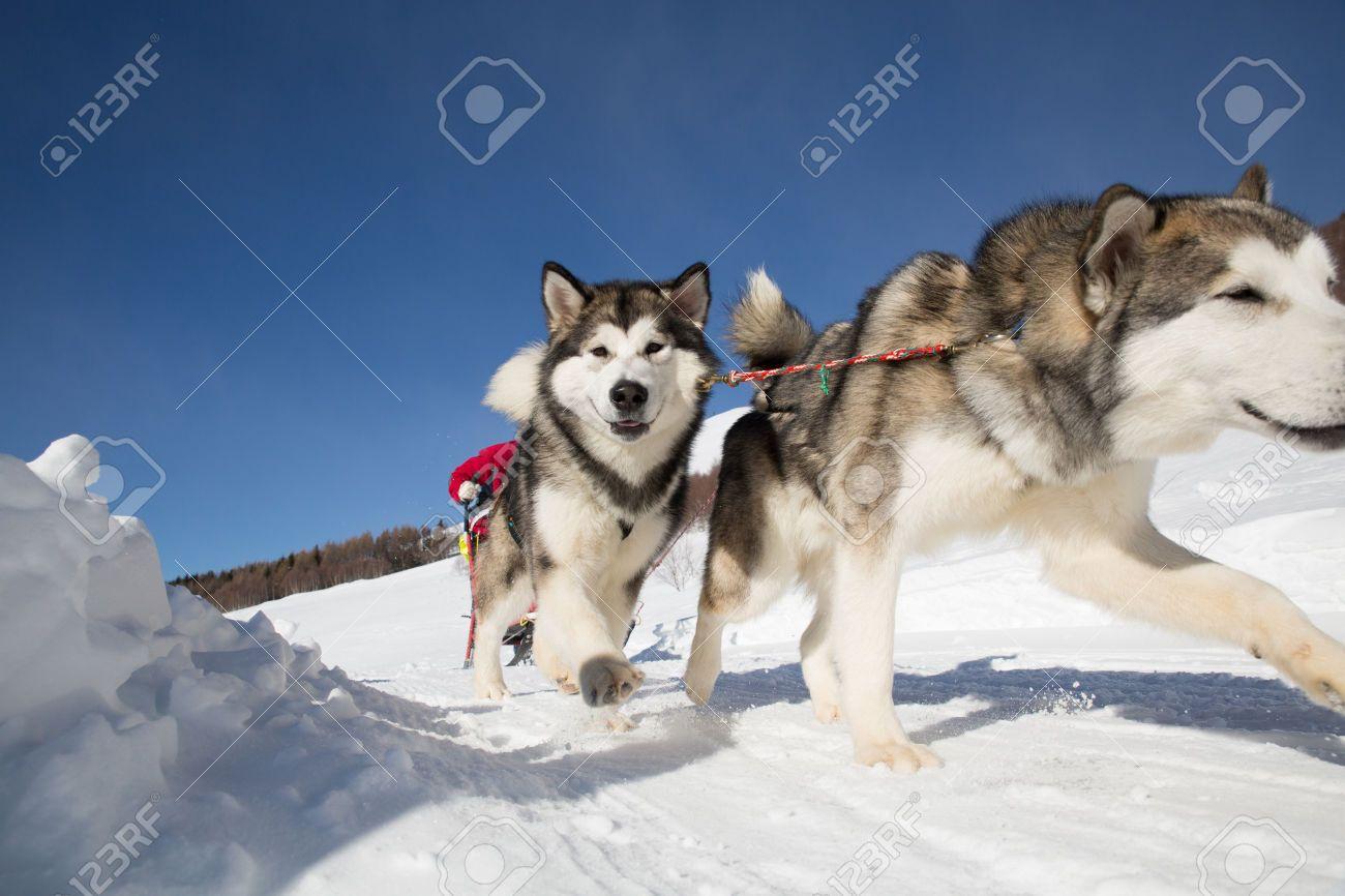 Alaskan Malamute Sled Dog Stock Photos Images Royalty Free