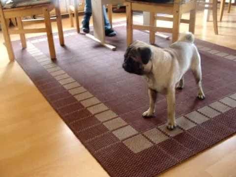 Pug afraid of mini pug