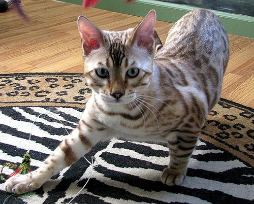 Seal Mink Spotted Bengal Kitten Owned By Foothill Felines White Bengal Cat Bengal Kitten Bengal Cat