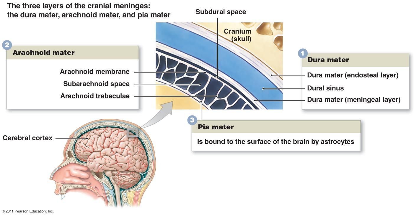 The three layers of the cranial meninges | Nursing | Pinterest ...