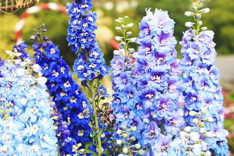 Birth Month Flowers and Their Meanings Larkspur flower