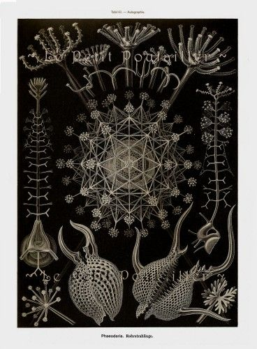 Pitcher Plant and Amoebas 1990 Ernst Haeckel Art Forms in Nature Litho