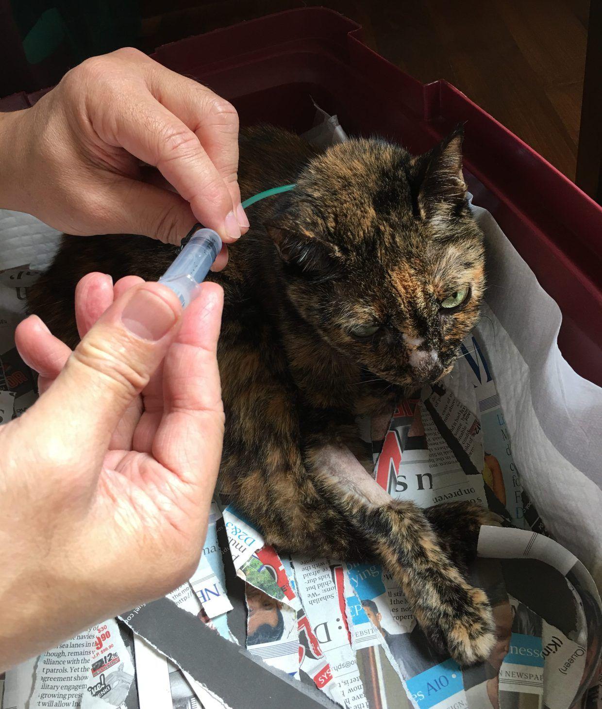 Twinkle Feline Eosinophilic Gastrointestinal Sclerosing