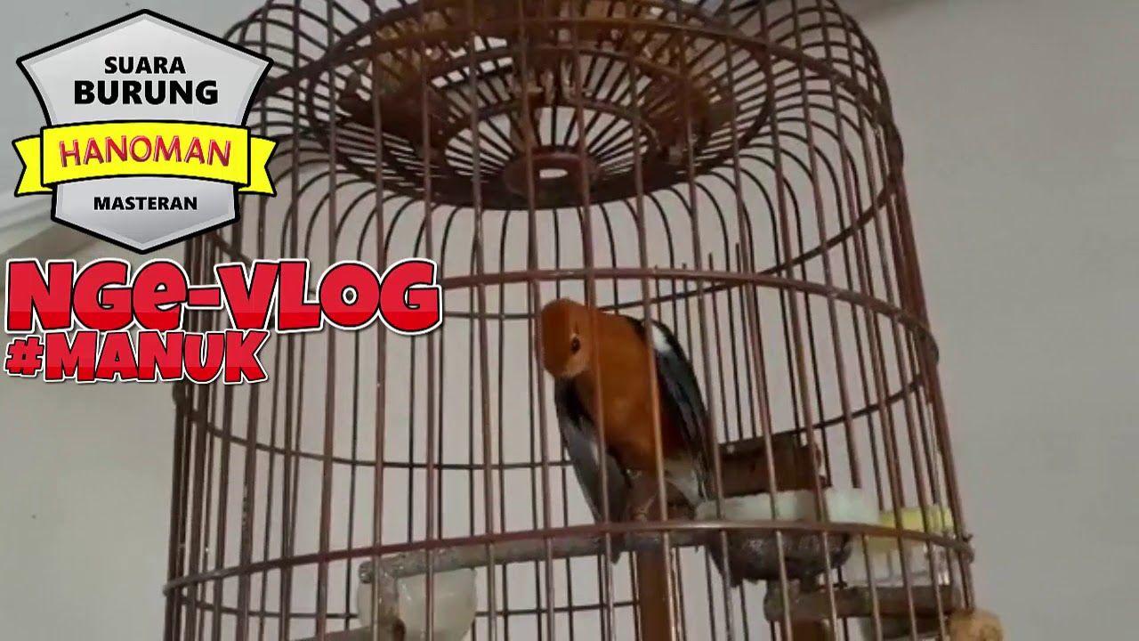 Anis Merah Gacor Teler Cocok Untuk Pancingan Dan Masteran Merah Cocok Burung