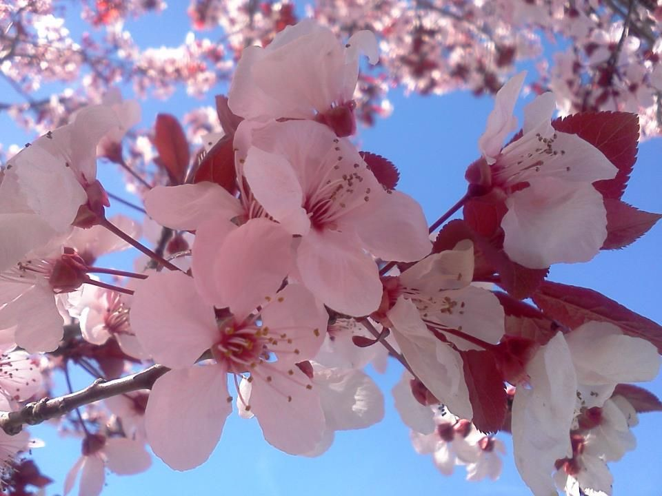 Cherry Blossoms, just awesome! Thanks Lori!