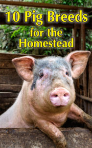 10 Pig Breeds for the Homestead Countryside Pig breeds