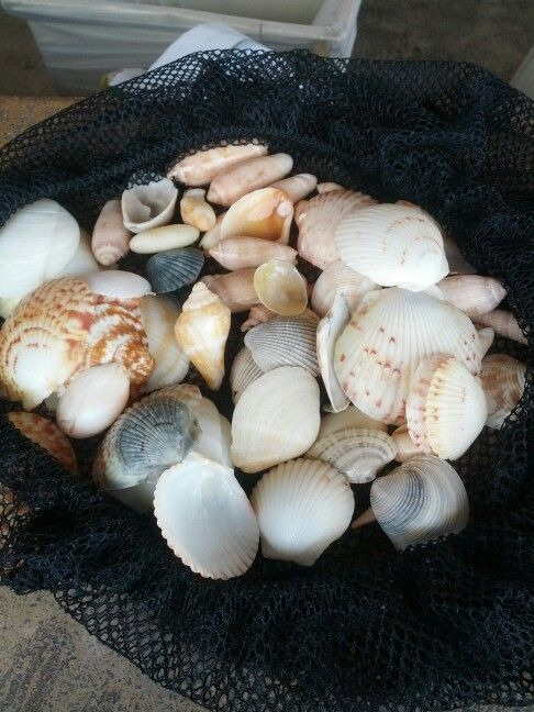 Pensacola Beach Shells