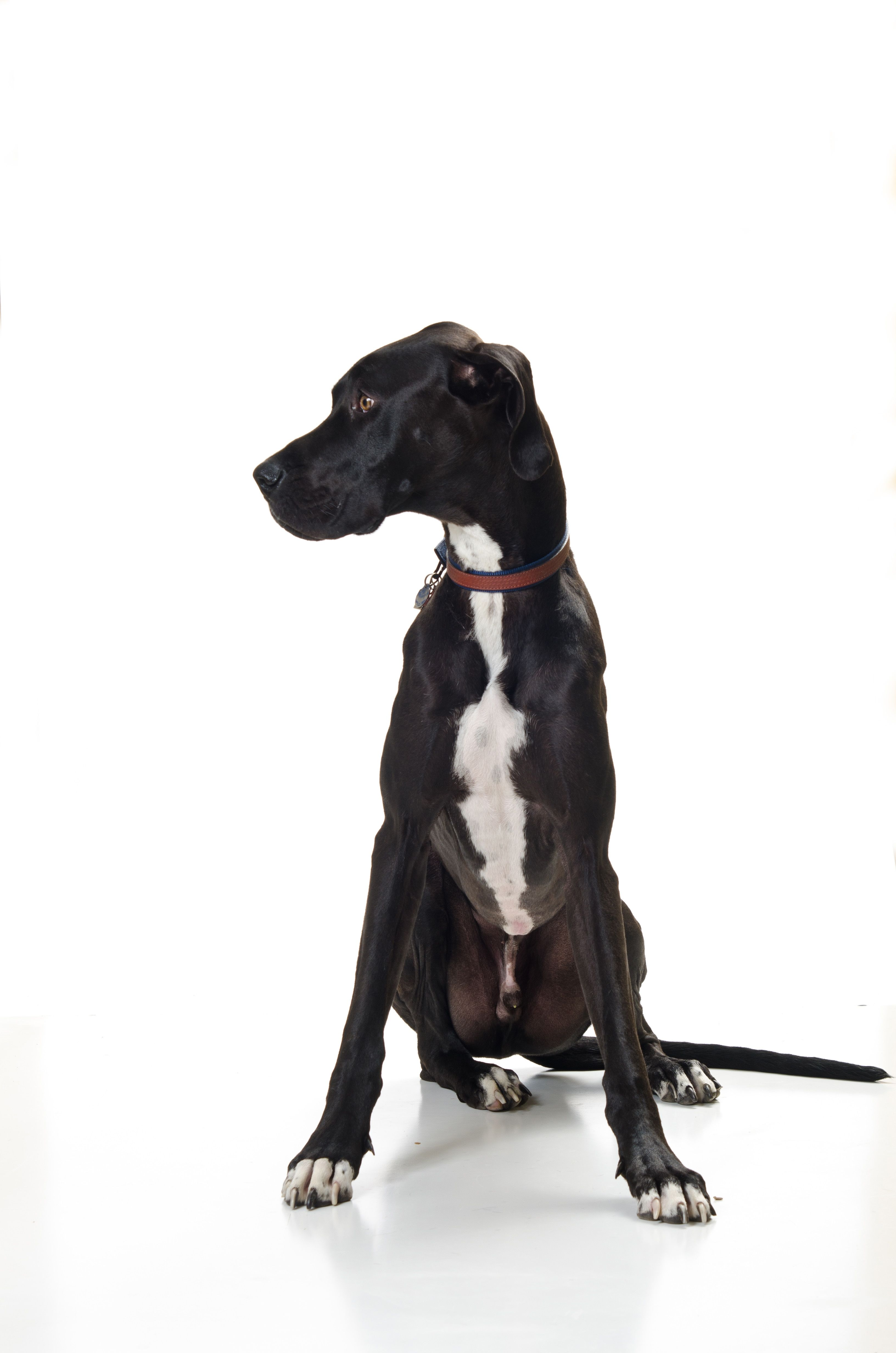 Viewing Gallery For Great Dane Black Lab Mix Puppies Lab Mix