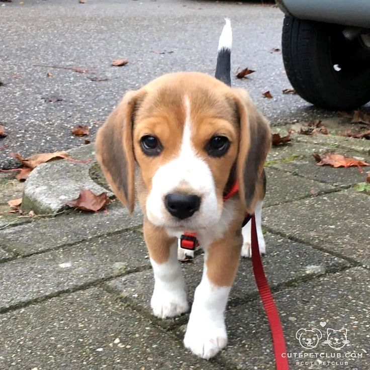 Pin by Leanne Le Signe on Home ideas Cute beagles, Baby