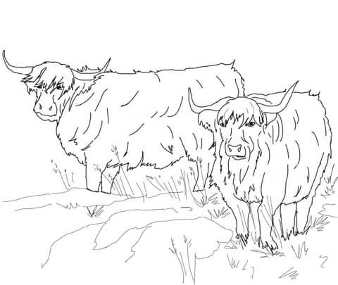 scottish highland cattle coloring page