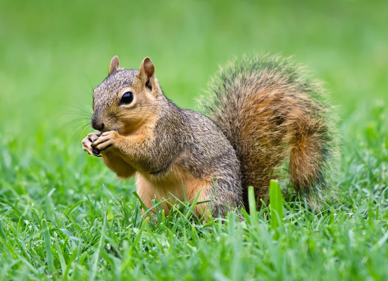 Eastern Fox squirrel (Sciurus niger). Young Eastern Fox