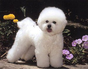 Lilywhite Bichons Frisés what riley is really supposed to look like lol