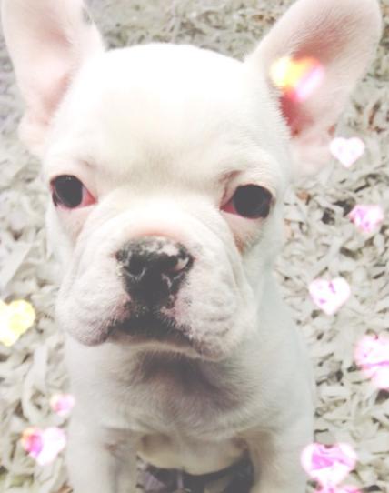 Cute pets, mascotas bonitas, perritos, cute dogs, bulldog frances, Piensa en Chic www.PiensaenChic.com