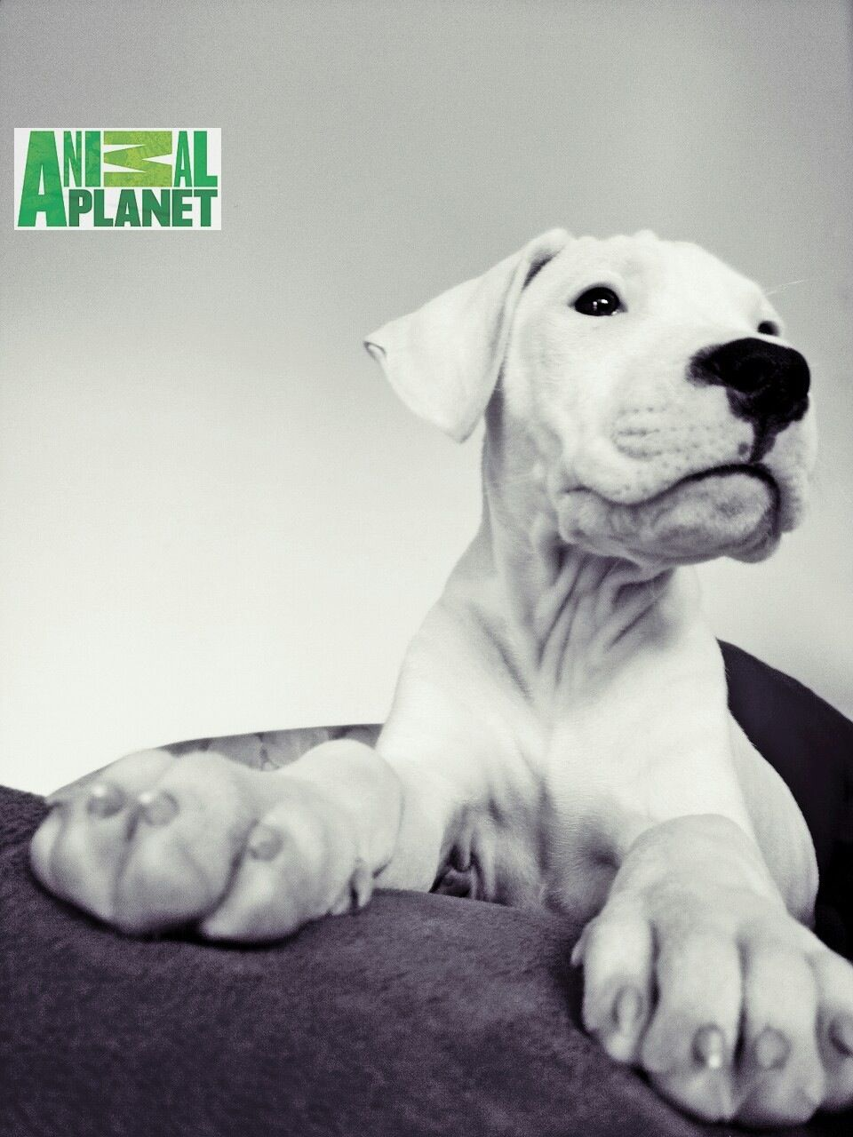 Baby Dogo Argentino Nanny Dog Every Dog Breed Cute Puppies