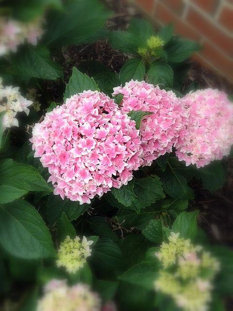 Beautiful hydrangea in the front yard