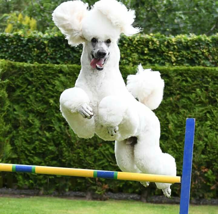 Look At This High Jumping Poodle Poodle Mom