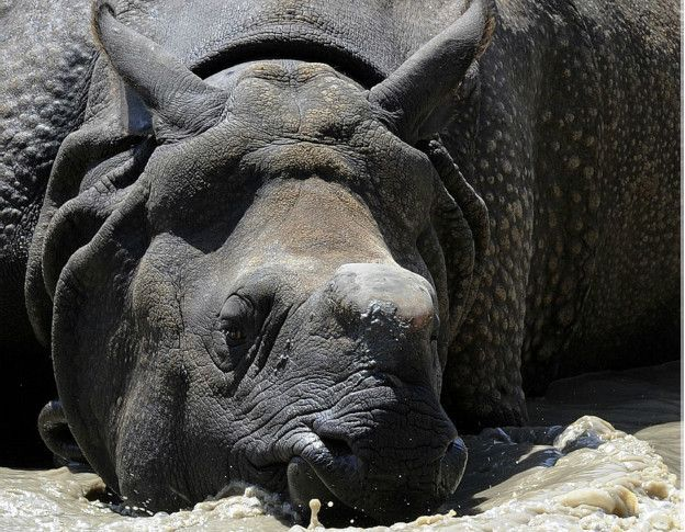 Un rinoceronte durmiendo