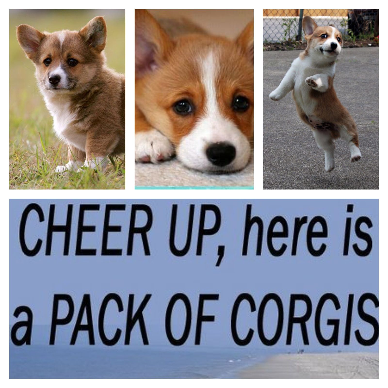Cheery Sight Corgi Animals Dogs