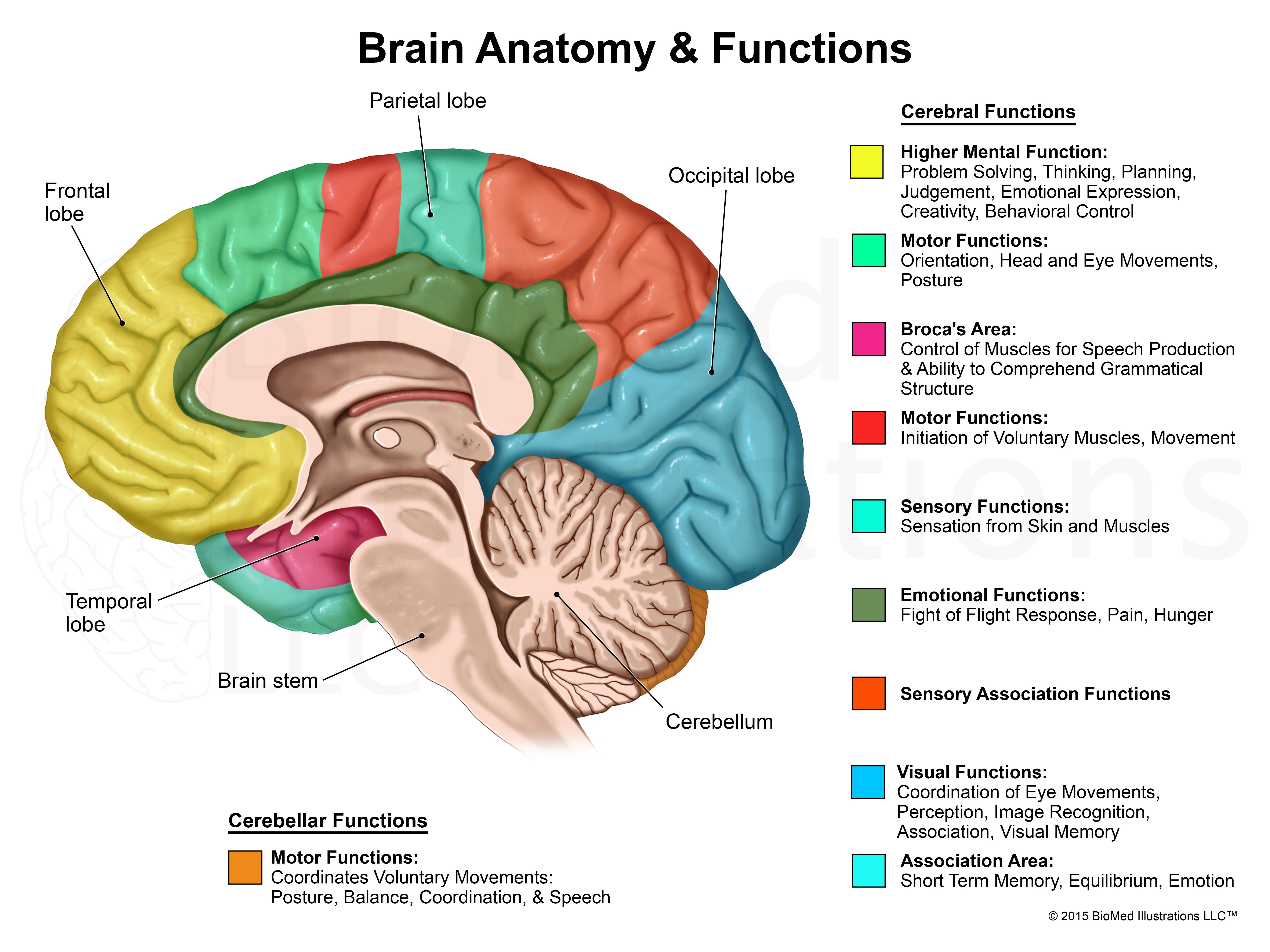 Related image | Brain anatomy and function, Brain diagram ...