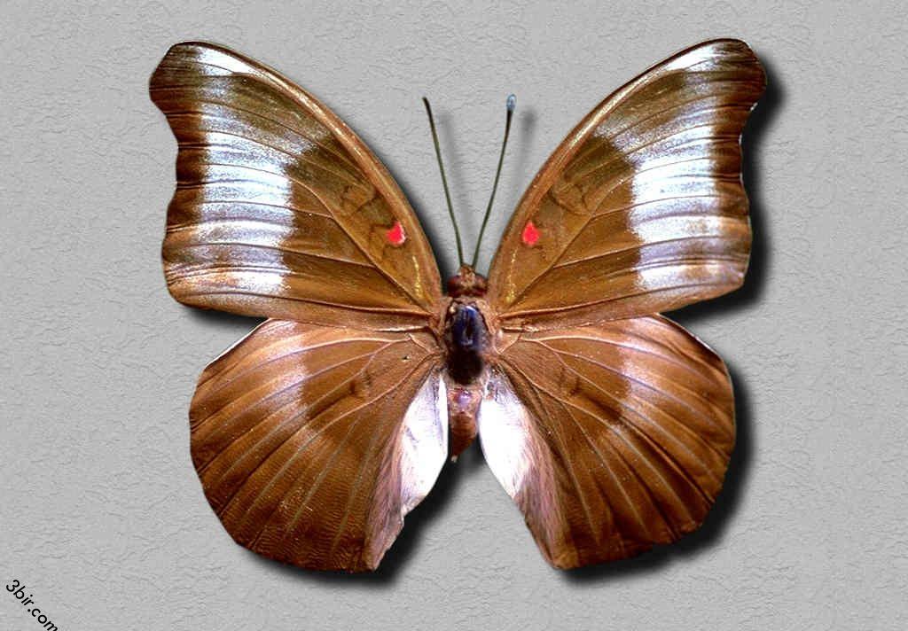 صور فراشات طبيعية رائعه جدا منتديات عبير Insects Animals Moth