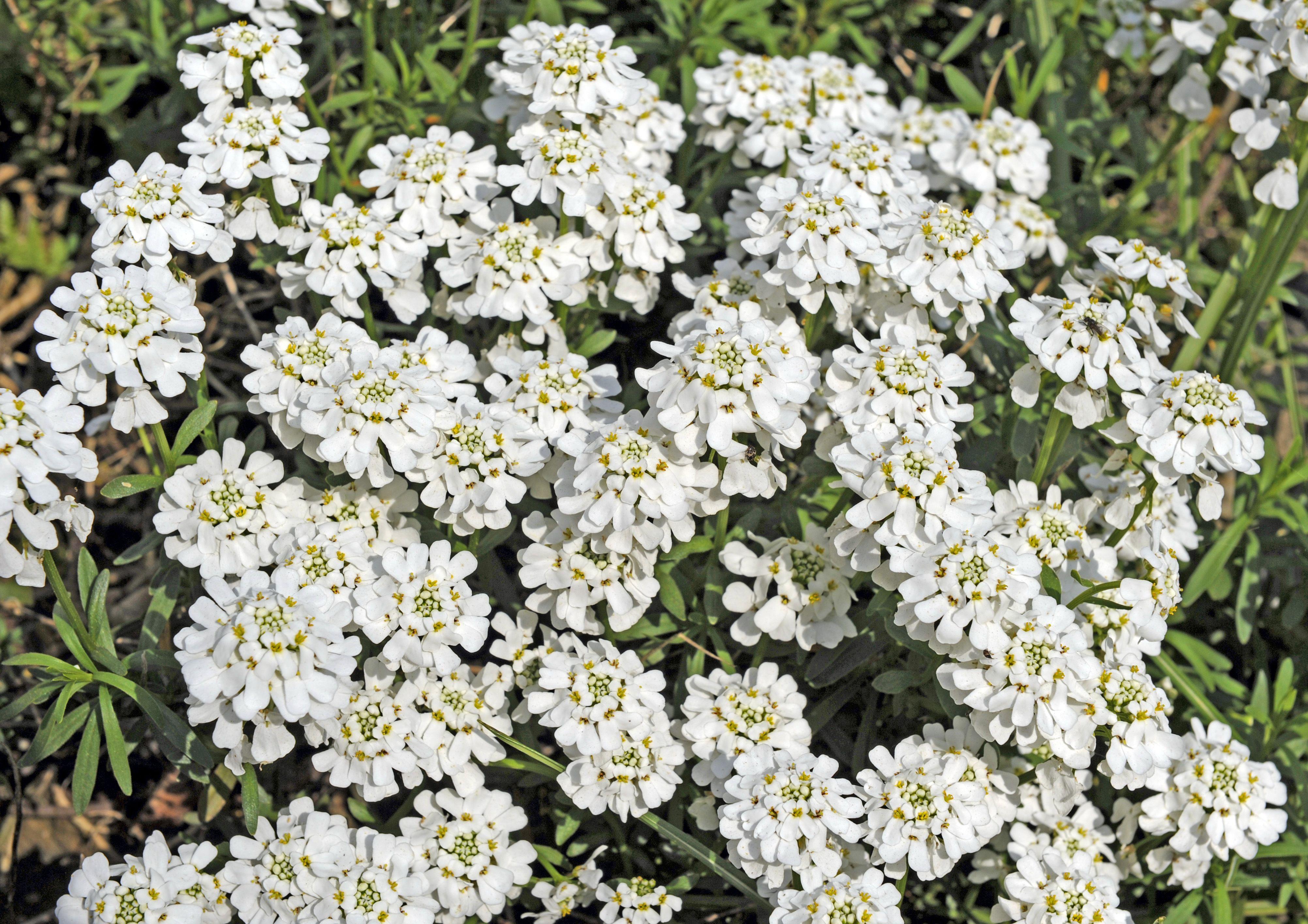 Full Sun Spring Perennials To Plant For A Gorgeous Garden In 2020 Spring Perennials Perennials Pollinator Garden