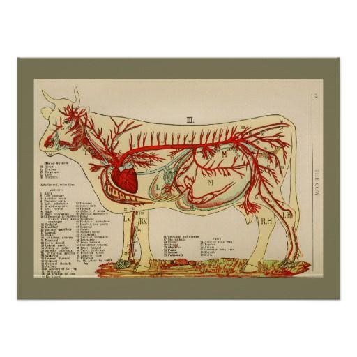 1917 Vintage Cow Artery Anatomy Chart Poster | Aprender Anatomía ...