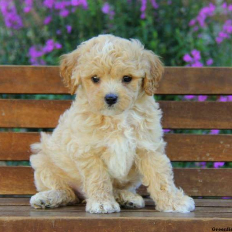 Maltipoo Puppies For Sale Maltipoo Breed Profile Maltipoo Dog