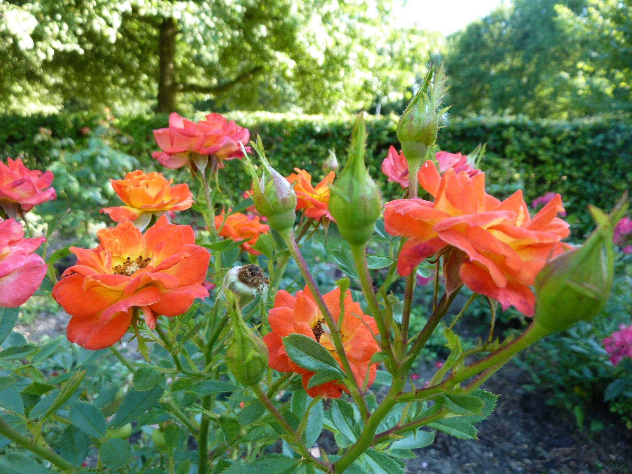 ~Roses at the flowergarden, Het Eksternest in Almere~