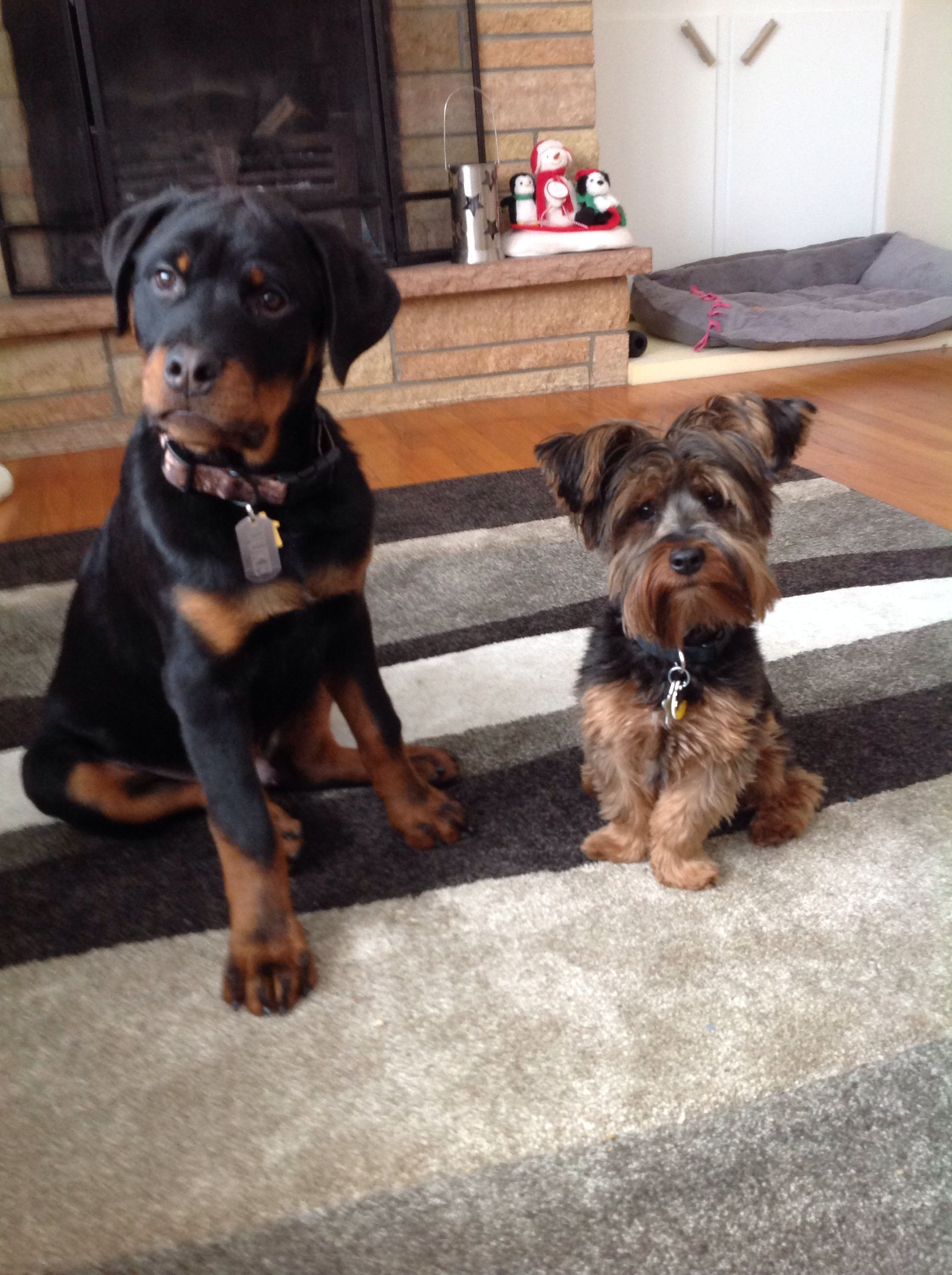 Best Friends Puppies Yorkie Rottweiler Cute Animals