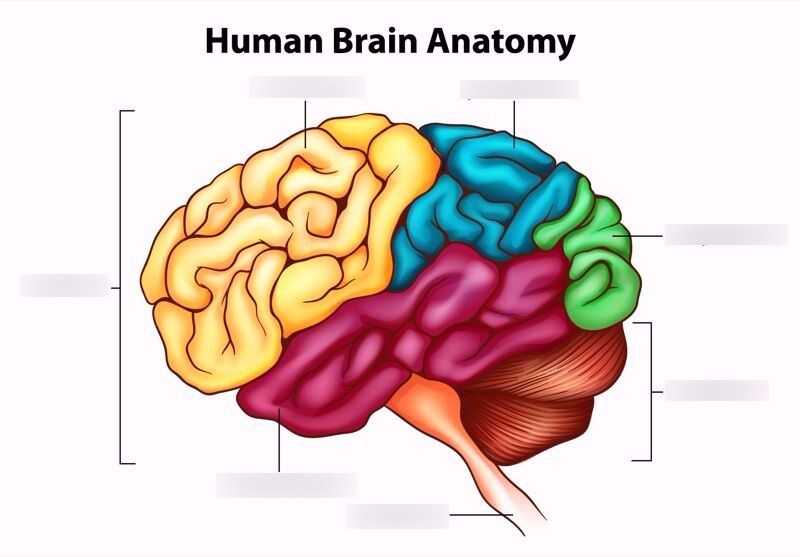 Human Brain Diagram | Quizlet | Science Diagrams | Pinterest | Human ...