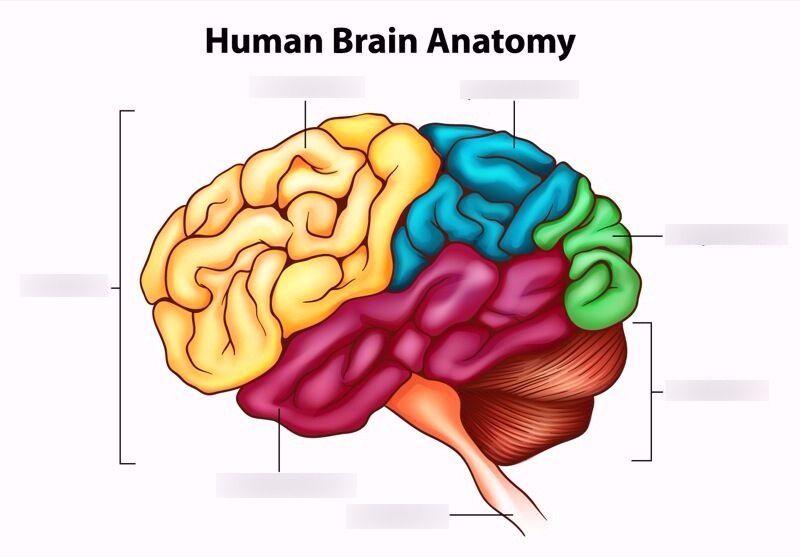 Human brain diagram quizlet science diagrams pinterest human brain diagram quizlet ccuart Image collections