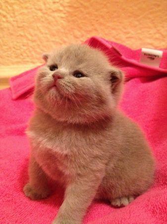 Scottish Fold Baby Girl Kitten Kittens Cutest Cats And Kittens