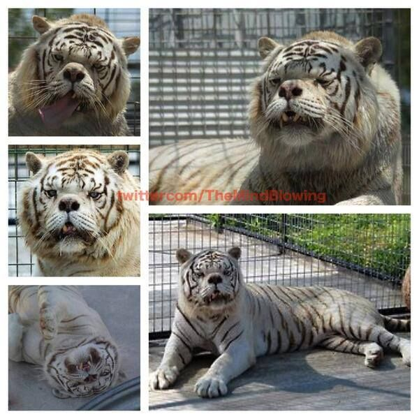 Kenny, a white tiger with Down syndrome