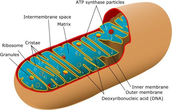 Mitochondria Structure Round Bean Shaped Or Threadlike Structures With A Double Unit Membrane Mai Mitochondrial Disease Mitochondria Cellular Respiration
