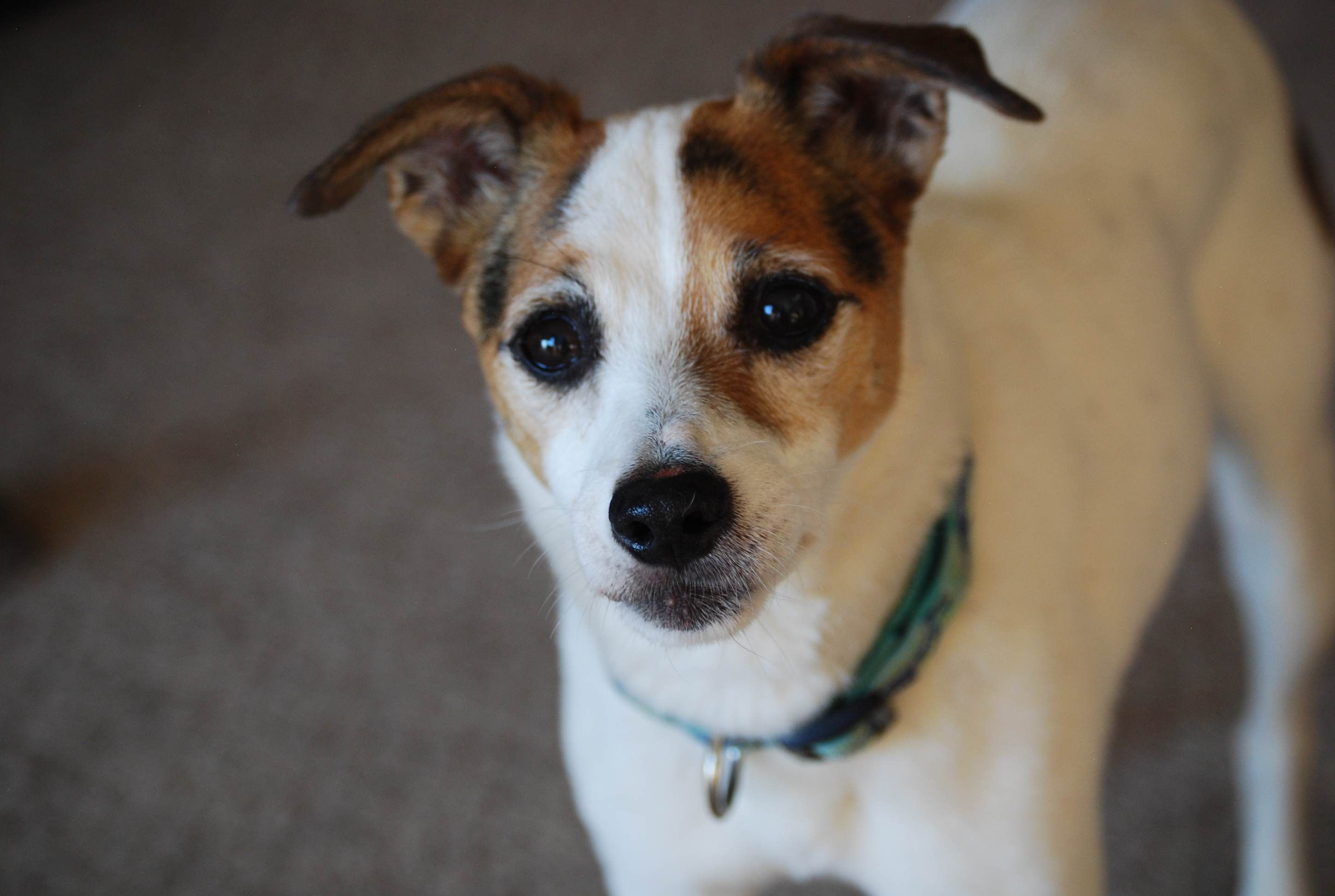 Adopted!!! Woody was found wandering on the side of the