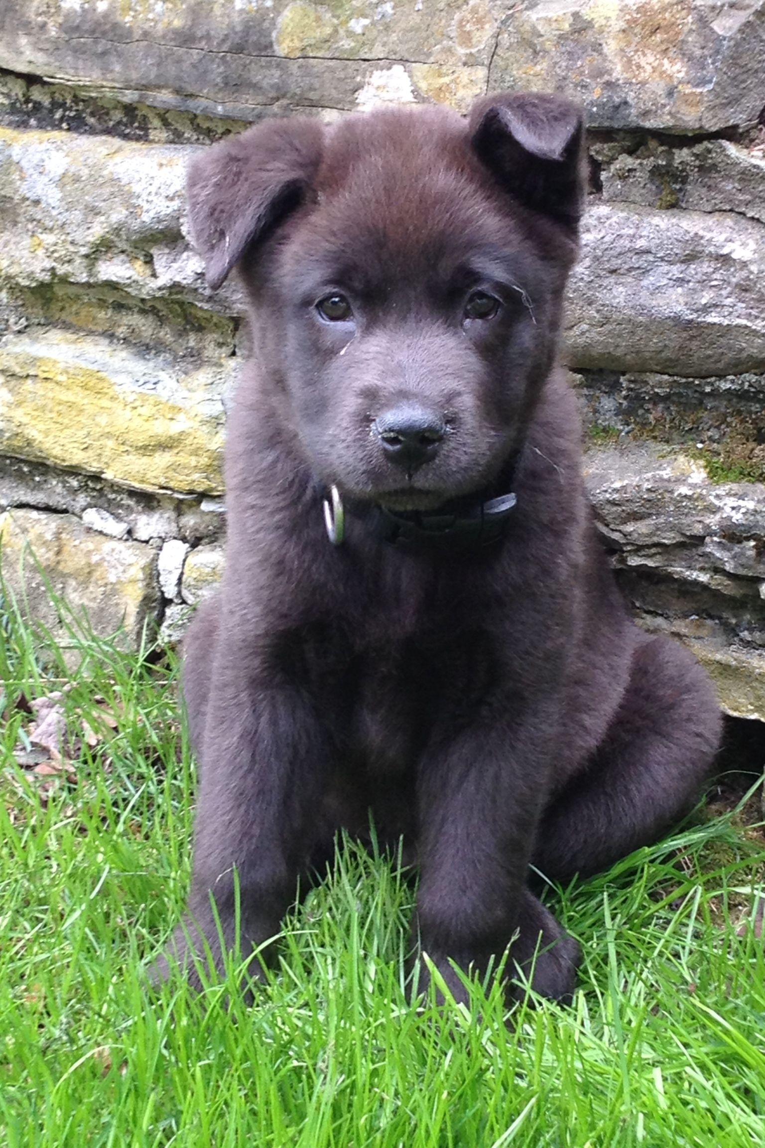 Koda A Black German Shepherd Mix At 2 Months Old Dogs Black