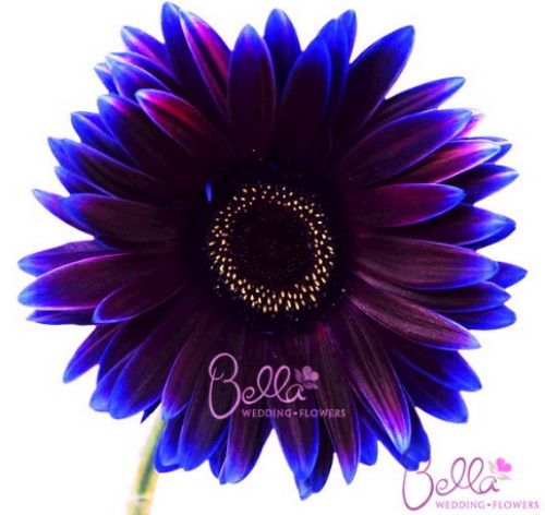 I Changed The Color I Think This Is It For My Cover Up Cover Up Tattoos Gerbera Daisy Tattoo Gerbera Daisy