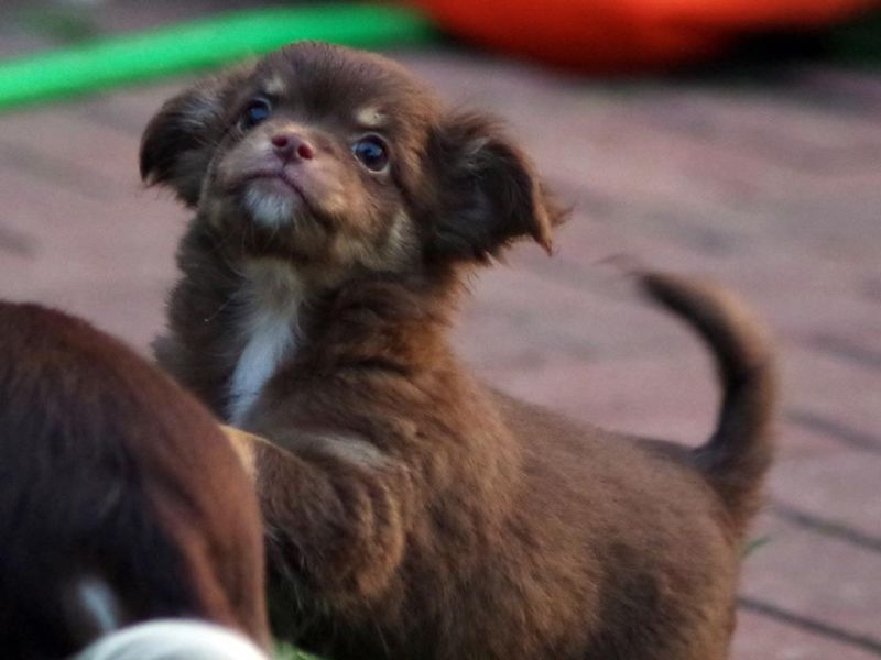 Chihuahua Puppy Welpe Chihuahua Welpen Hunde Welpen Welpen