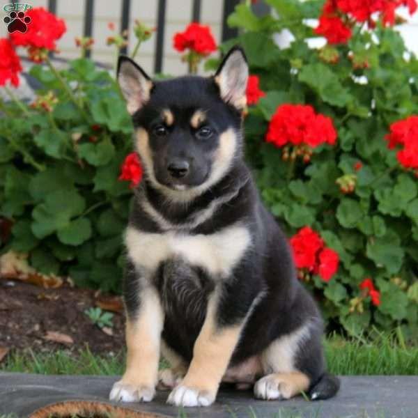 Danielle German Shepherd Mix Puppy For Sale In Pennsylvania