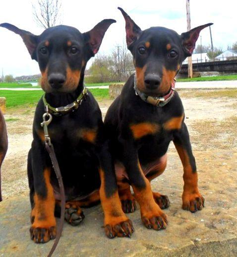 Double Trouble Doberman Pinscher Puppy Doberman Puppy Doberman