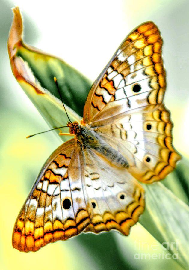 Mariposa De Pavo Real Blanca Naturalesa Mariposas Mariposas