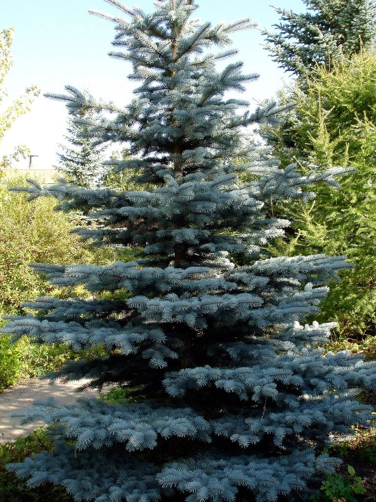How long does it take for a colorado blue spruce to grow? | home.