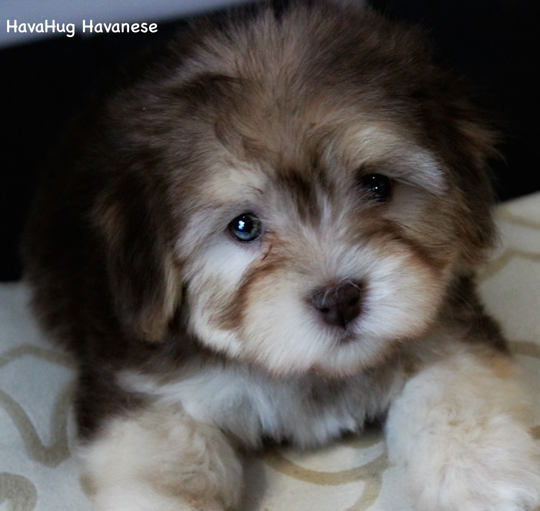 The World's Most Beautiful Havanese Puppies