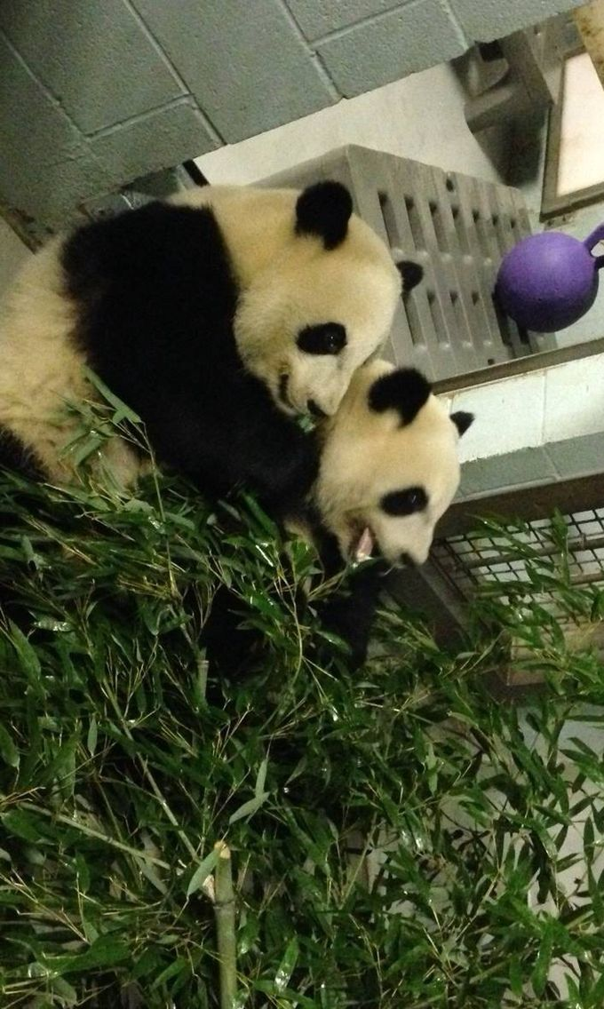 Pandas photo by Jen Webb