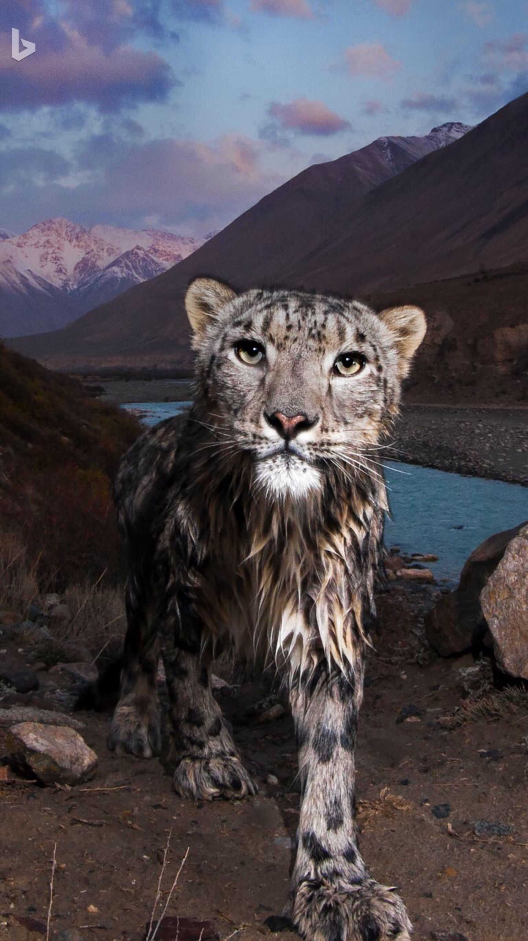 Snow leopard in Kyrgyzstan's Tian Shan Hello, kitty! This
