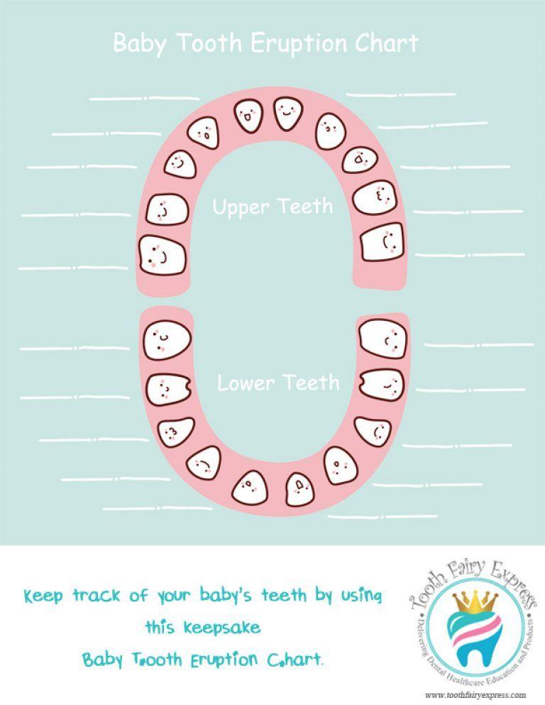 Baby tooth eruption chart keepsake also fairy express worksheets rh pinterest