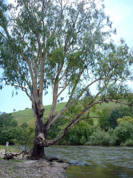 Gum Tree Australia Landscape Trees Australian Trees Landscape