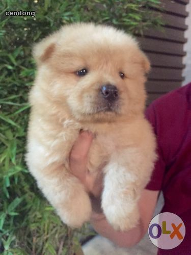 Chow Chow Cream Puppy Puppies Pets Reptiles Amphibians